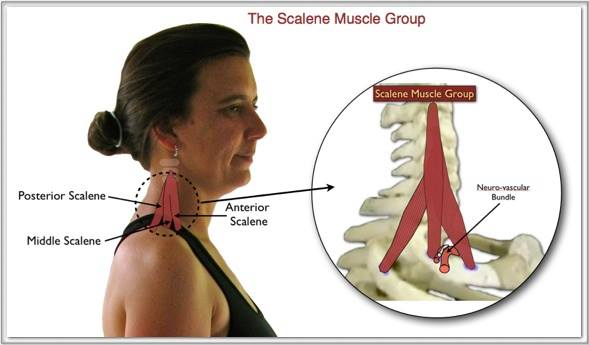 scalene muscles oviedo